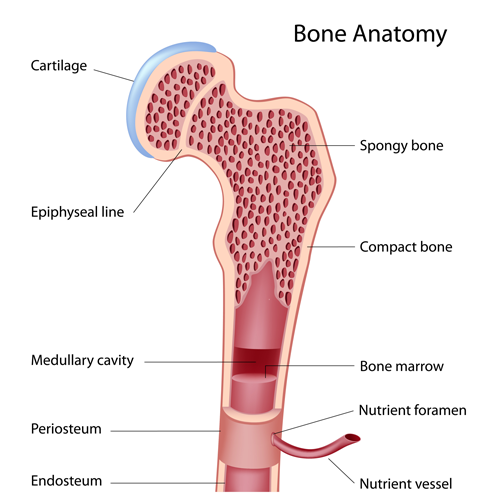 The Bone Anatomy